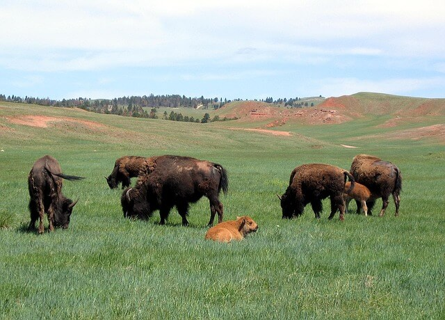 bison_facts_for_kids