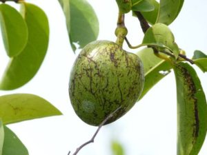 manchineel _tree