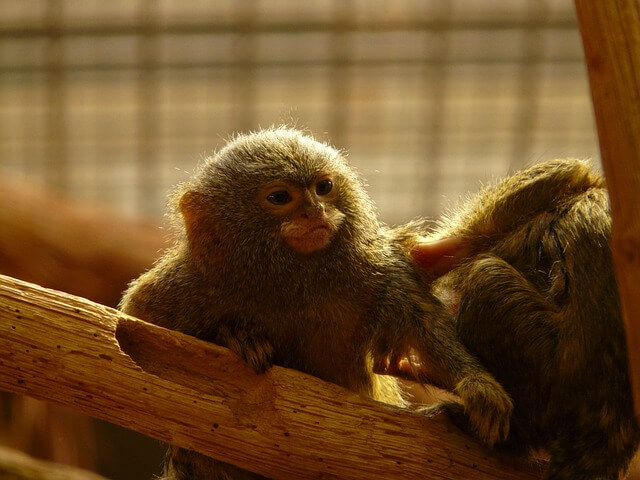 pygmy_marmoset