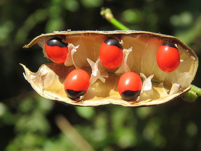 rosary_pea_plant