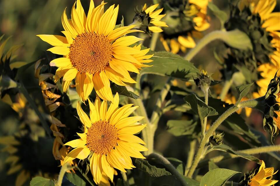 Sunflower plant facts for kids - 15 Interesting Sunflower ...