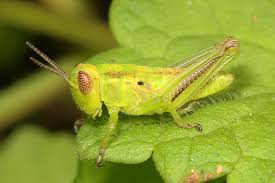 life_cycle_of_a_grasshopper