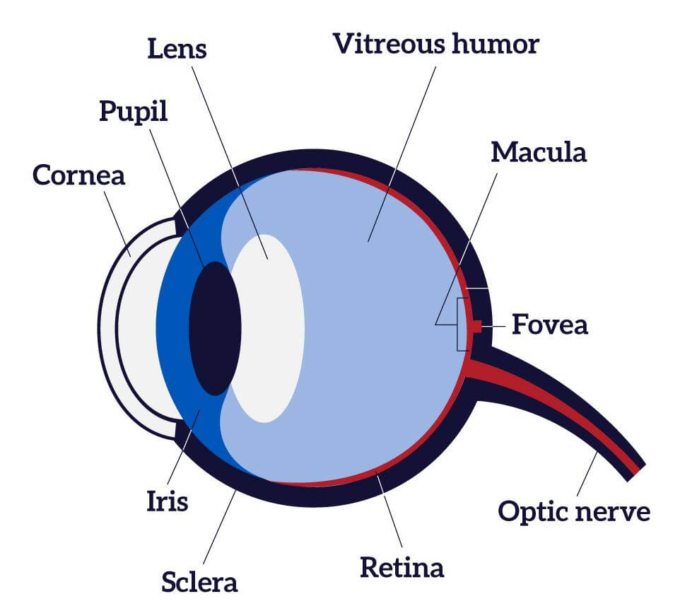 Human Eye Diagram  How The Eye Work