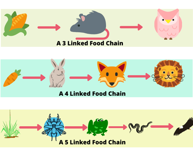 Complete Guide of Food Chain, Food Web, Levels in Food Chain