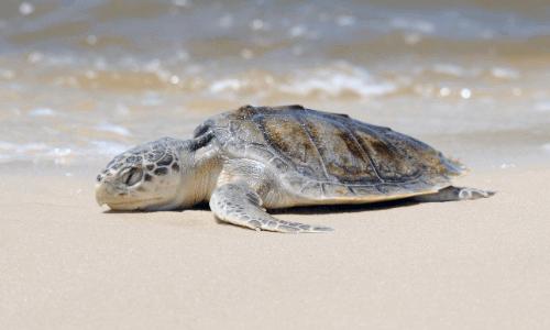 sea_turtle_facts