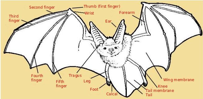 bat_wings