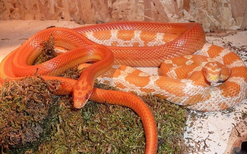corn_snake