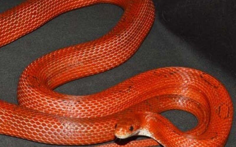 red_corn_snake