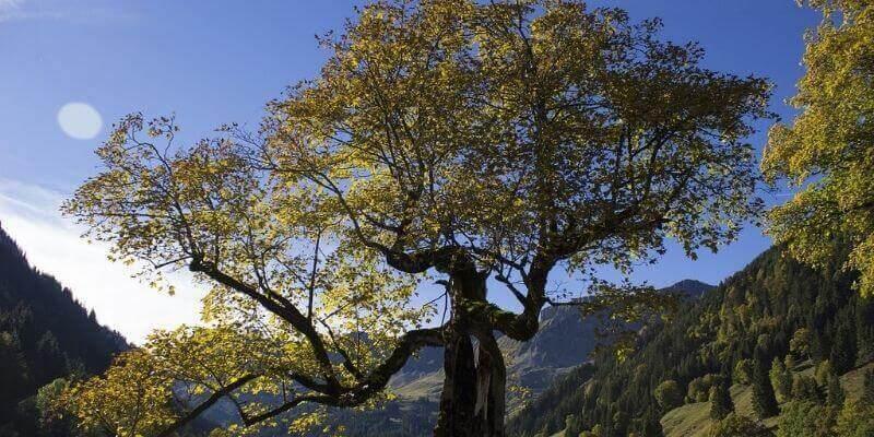 sycamore_tree