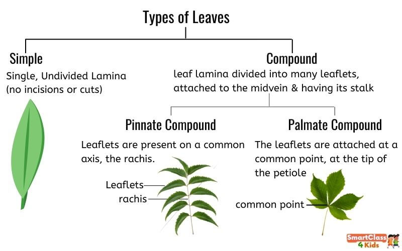 parts_of_a_leaf